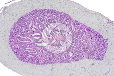 Cavia sp. Guinea pig. Testicle. Seminal vesicle. Transverse section. 64X