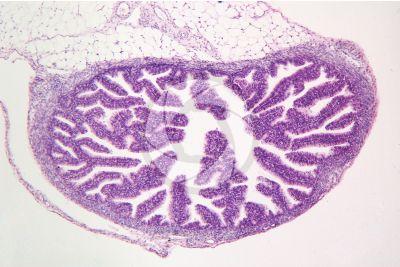 Coniglio. Ovario. Sezione trasversale. 100X