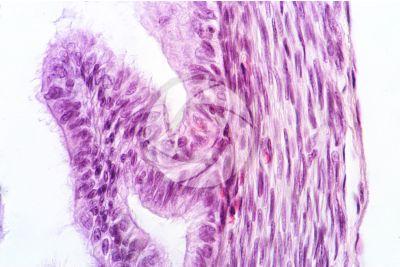 Coniglio. Ovario. Sezione trasversale. 1000X