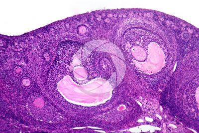 Coniglio. Ovario. Sezione trasversale. 64X