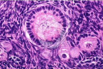 Coniglio. Ovario. Sezione trasversale. 500X