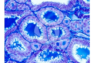 Rabbit. Thyroid. Transverse section. 250X