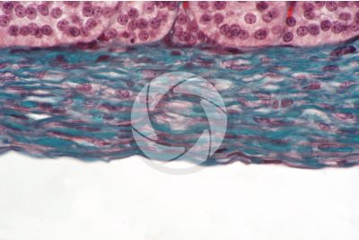 Cat. Adrenal gland. Transverse section. 500X