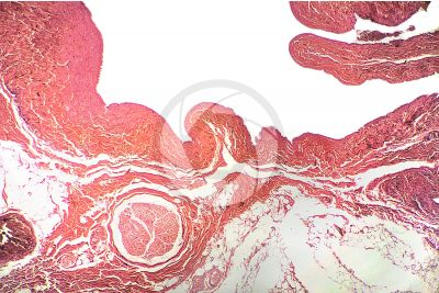 Mammal. Vein. Transverse section. 32X
