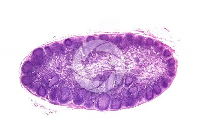 Mammal. Lymph node. Transverse section. 7X