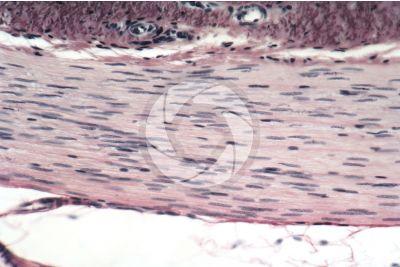 Mammifero. Utero. Muscolatura liscia. Sezione longitudinale. 250X