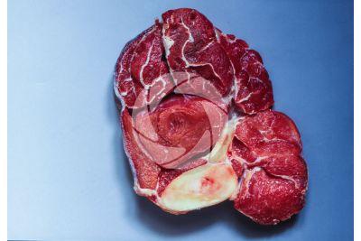 Mammifero. Muscolatura scheletrica. Sezione trasversale
