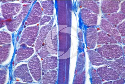 Mammal. Skeletal muscle. Transverse section. 500X