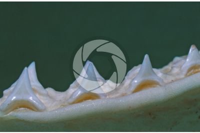 Dogfish. Tooth. Lateral view