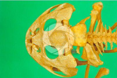 Rana sp. Frog. Skull. Dorsal view