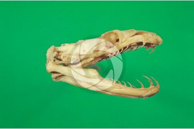 Grass snake. Skull. Lateral view