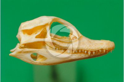 Caiman. Skull. Lateral view