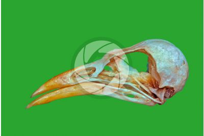Gracula religiosa. Common hill myna. Skull. Lateral view