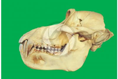 Papio anubis. Baboon. Skull. Lateral view