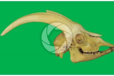Capra hircus cretica. Kri kri. Skull. Lateral view