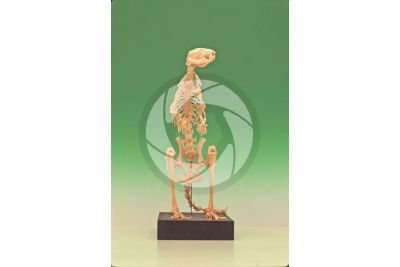 Kangaroo. Skeleton. Front view