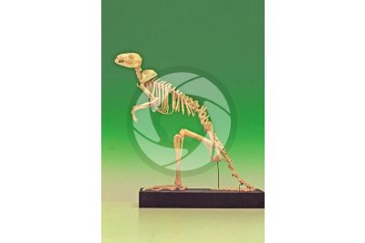 Kangaroo. Skeleton. Lateral view