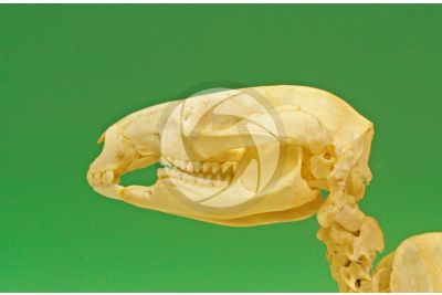 Kangaroo. Skull. Lateral view
