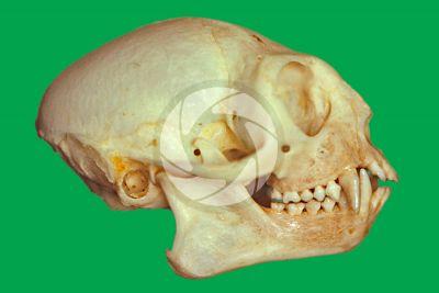 Leontopithecus rosalia. Golden lion tamarin. Skull. Lateral view