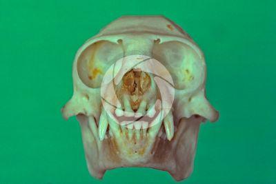 Leontopithecus rosalia. Golden lion tamarin. Skull. Front view