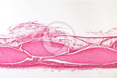 Rabbit. Trachea. Transverse section. 64X