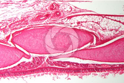 Rabbit. Trachea. Transverse section. 125X
