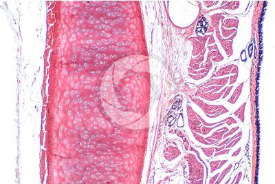 Mammal. Trachea. Transverse section. 64X