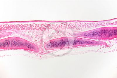 Mammal. Trachea. Transverse section. 32X