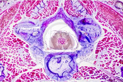 Salamandra salamandra. Salamander. Spinal cord and vertebral body. Transverse section. 64X