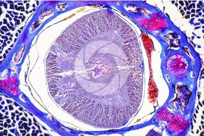 Lacerta sp. Lizard. Spinal cord. Transverse section. 125X