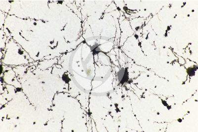 Mammal. Cerebral cortex. Neuron. Silver stain. 500X