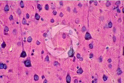Mammal. Cerebral cortex. Neuron. 500X