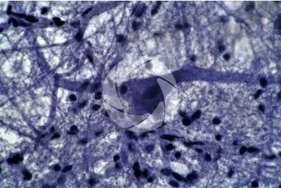 Mammifero. Midollo spinale. Neurone. 500X