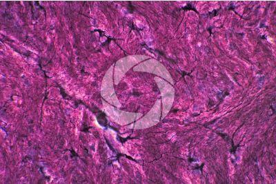 Mammifero. Neuroglia. 500X