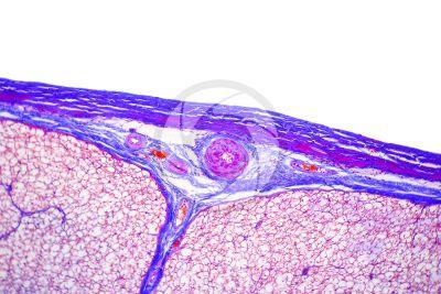 Mammifero. Midollo spinale. Sezione trasversale. 125X