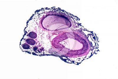 Mammal. Nerve. Transverse section. 32X