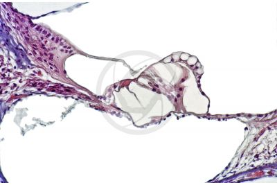 Cavia sp. Guinea pig. Cochlea. Longitudinal section. 500X