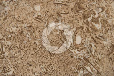 Nut Brown Limestone. Croatia. Polished section