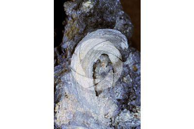 Coralloidal Gypsum