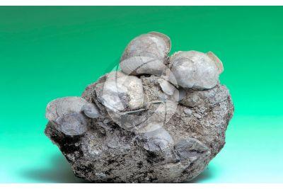 Arctica islandica. Ocean quahog. Fossil. Pleistocene