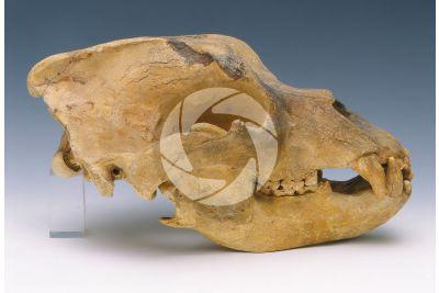 Ursus spelaeus. Orso delle caverne. Cranio. Fossile. Pleistocene
