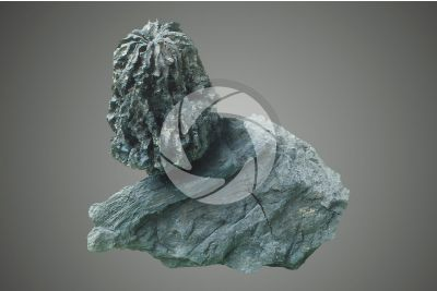 Walnut. Lignitized fossil. Pleistocene