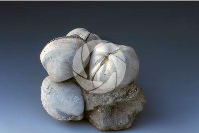 Glycymeris sp. Bittersweet clam. Fossil. Pliocene