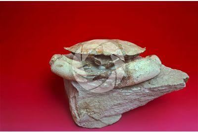 Harpactocarcinus punctulatus. Crustacean. Fossil. Miocene