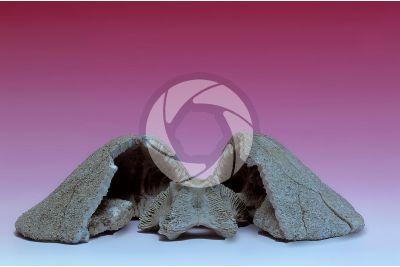 Clypeaster altus. Cake urchin. Fossil. Miocene