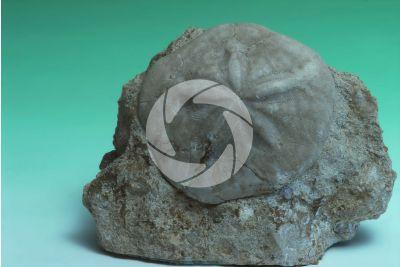 Dendraster sp. Sea urchin. Fossil. Pliocene