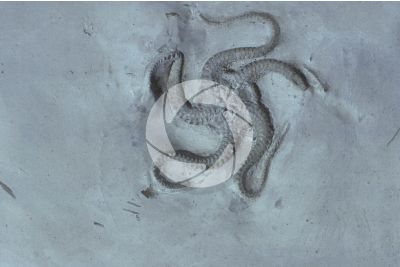 Ophiuroidea. Brittle star. Fossil. Pliocene
