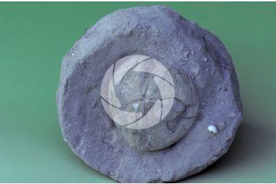 Echinodermata. Sea urchin. Fossil. Pliocene