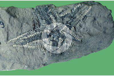 Echinodermata. Starfish. Fossil. Pliocene
