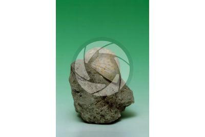 Notocochlis tigrina. Tiger moon snail. Fossil. Pliocene